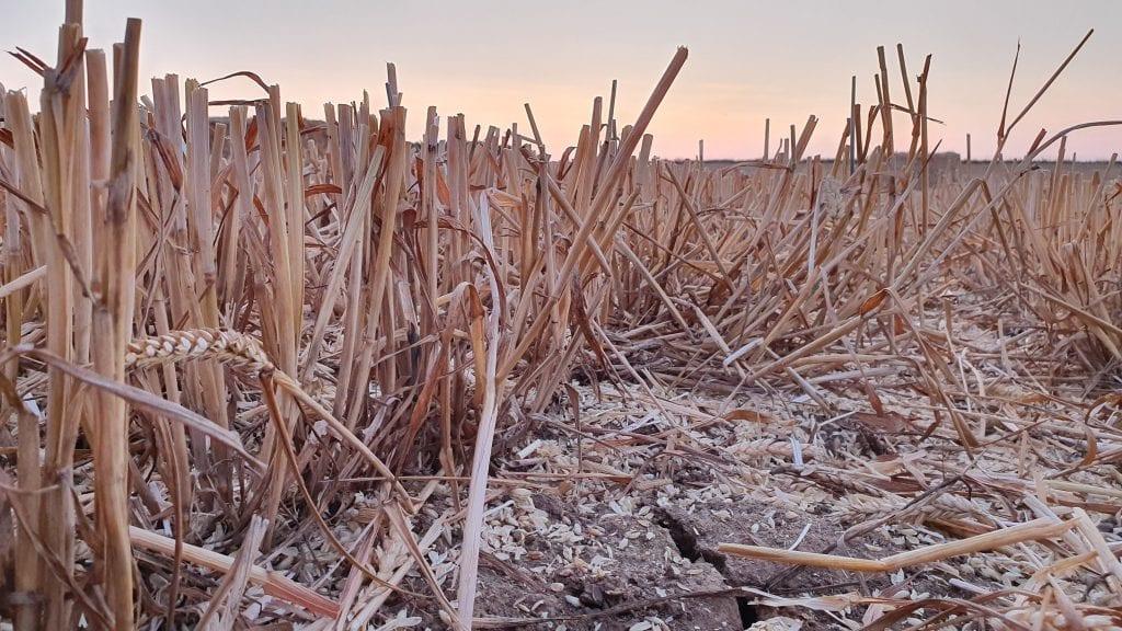 Sécheresse champs blé Thierry bailliet Loos en Gohelle Nord