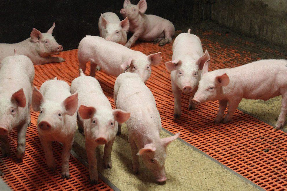 porcs élevage porcin ppa terres et territoires
